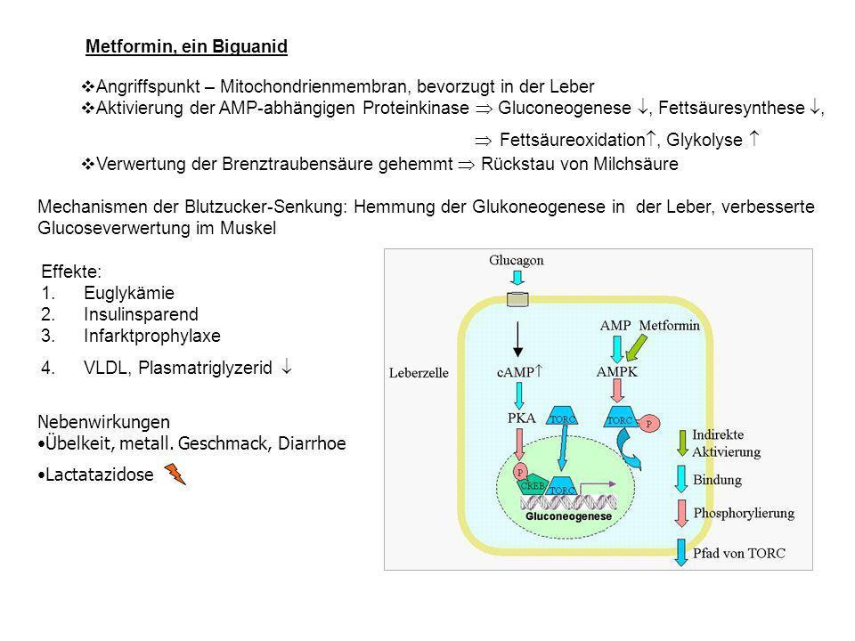 Angriffspunkt – Mitochondrienmembran, bevorzugt in der Leber Aktivierung der AMP-abhängigen Proteinkinase Gluconeogenese, Fettsäuresynthese, Fettsäureoxidation, Glykolyse Verwertung der Brenztraubensäure gehemmt Rückstau von Milchsäure Mechanismen der Blutzucker-Senkung: Hemmung der Glukoneogenese in der Leber, verbesserte Glucoseverwertung im Muskel Effekte: 1.Euglykämie 2.Insulinsparend 3.Infarktprophylaxe 4.VLDL, Plasmatriglyzerid Metformin, ein Biguanid Nebenwirkungen Übelkeit, metall.