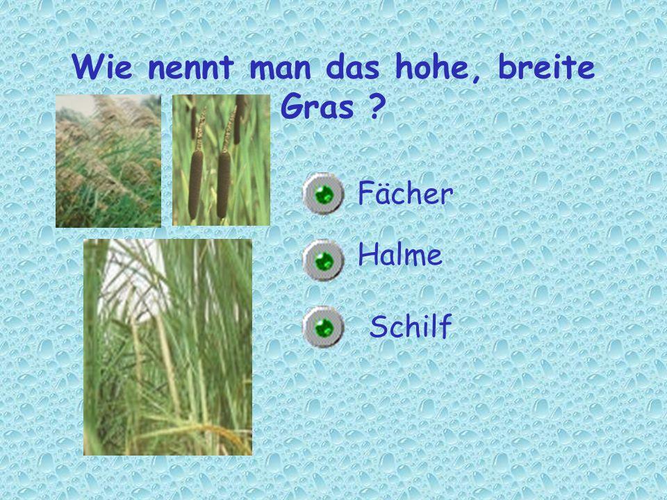 Wie nennt man das hohe, breite Gras ? Halme Schilf Fächer