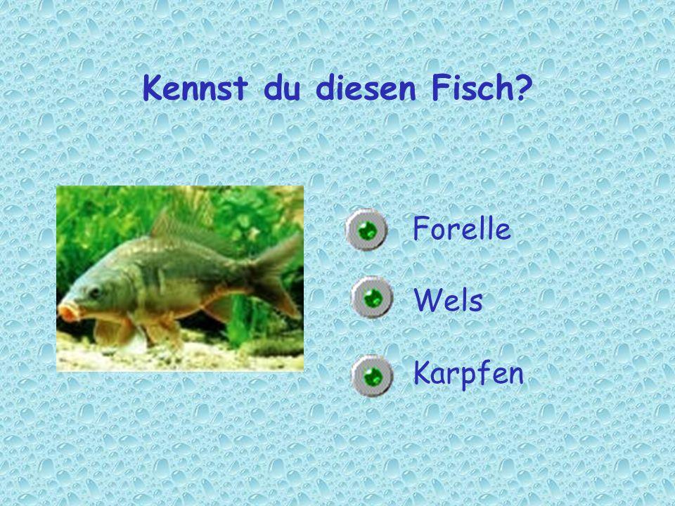 Kennst du diesen Fisch? Forelle Wels Karpfen