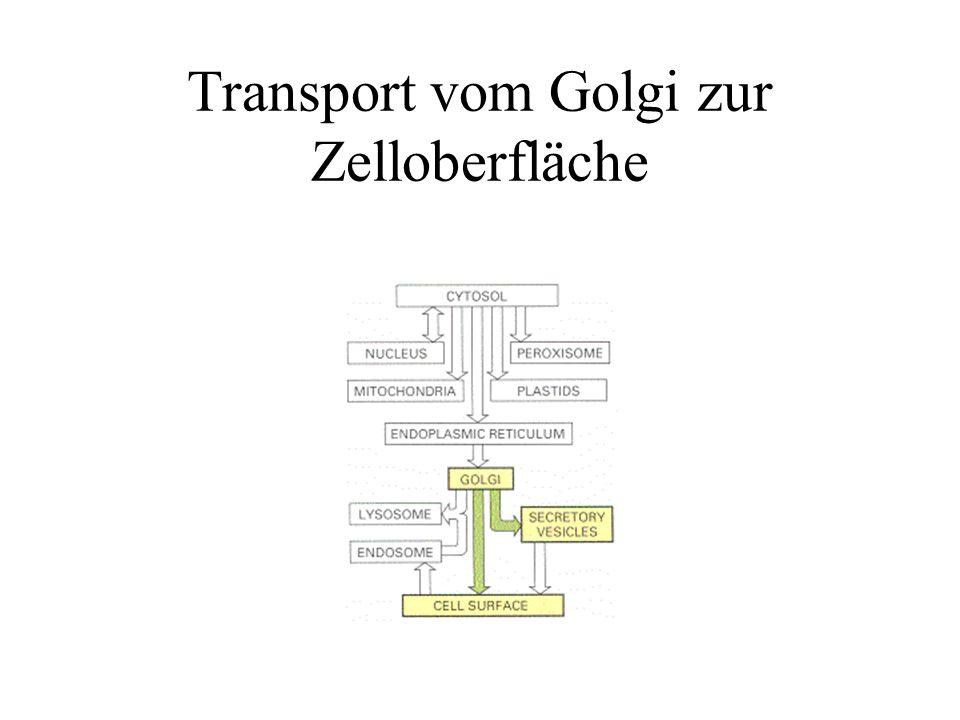 Transport vom Golgi zur Zelloberfläche