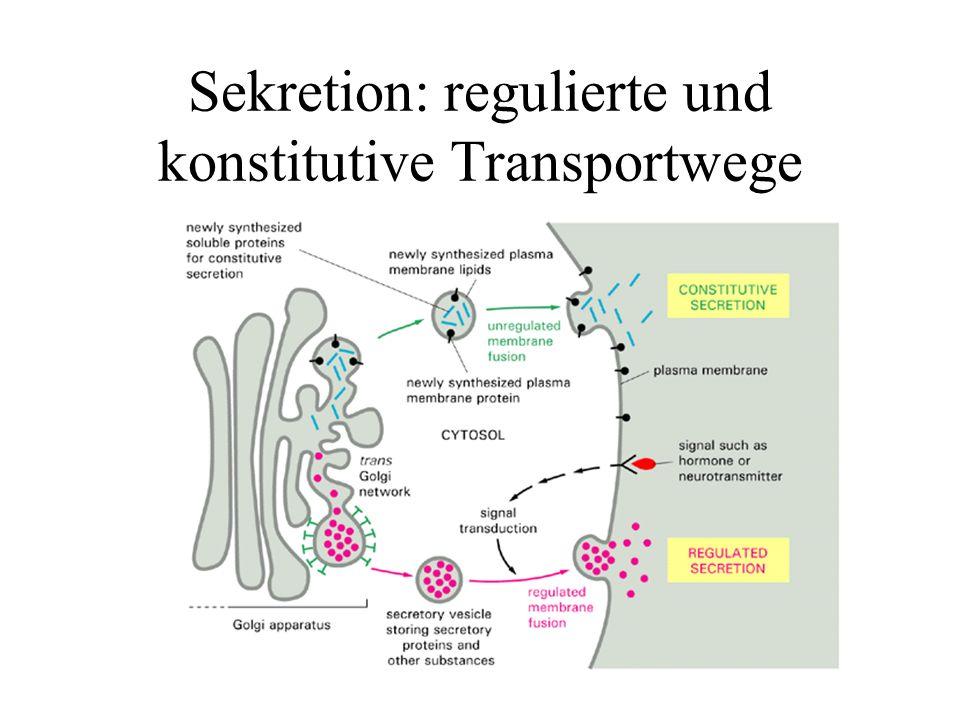 Sekretion: regulierte und konstitutive Transportwege