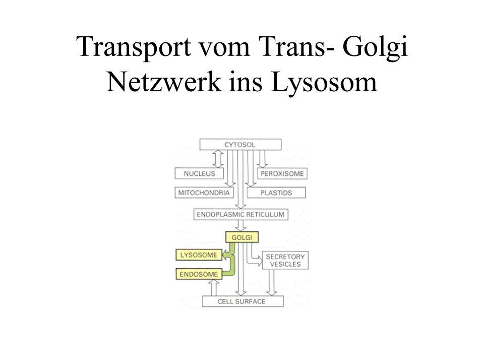Transport vom Trans- Golgi Netzwerk ins Lysosom