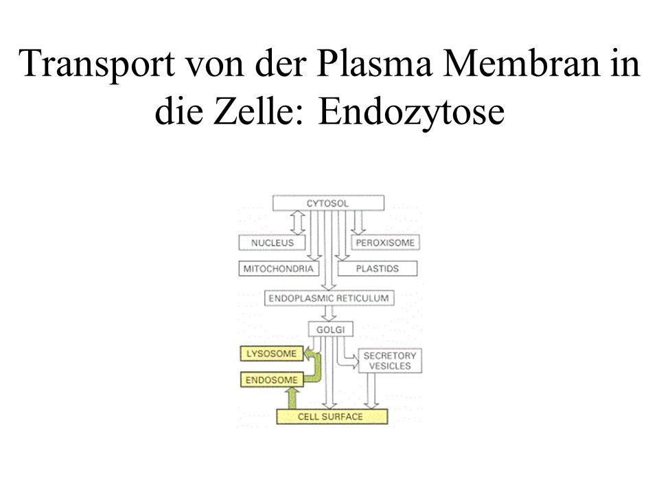 Transport von der Plasma Membran in die Zelle: Endozytose