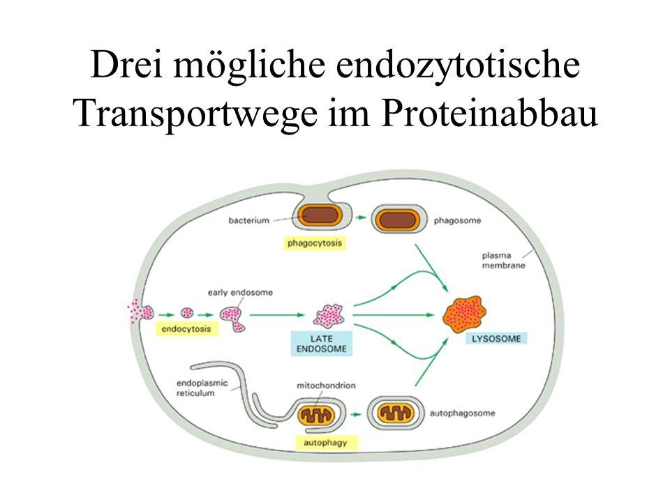 Drei mögliche endozytotische Transportwege im Proteinabbau
