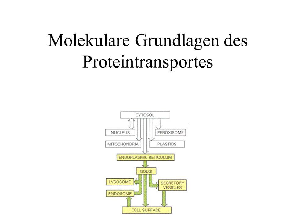 Molekulare Grundlagen des Proteintransportes