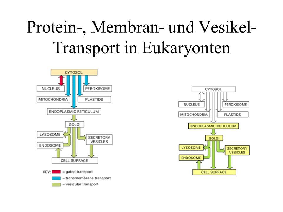 Exozytose sekretorischer Vesikel Insulinfreisetzung durch intrazelluläre Transportvesikel in einer beta-Zelle des Pankreas