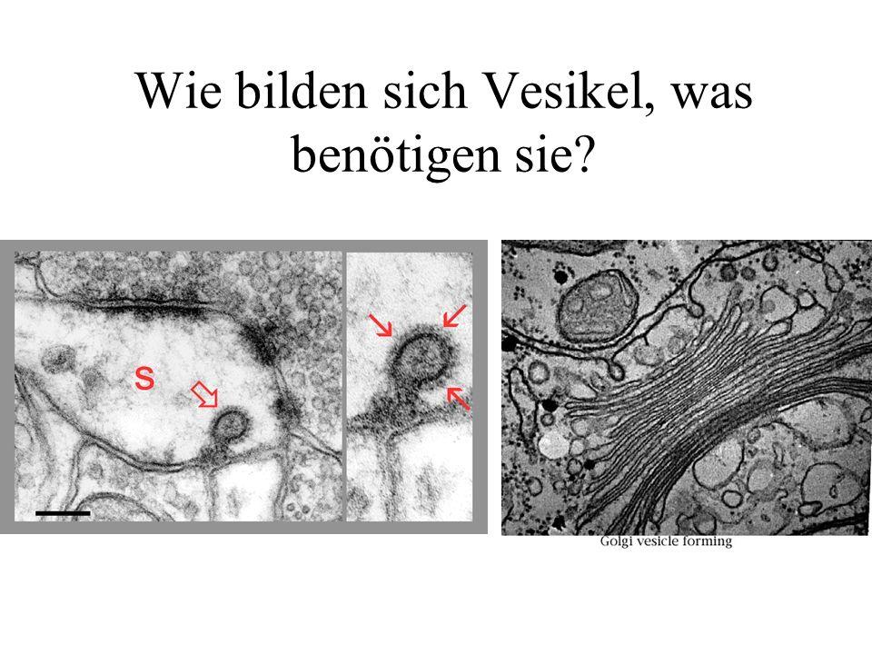 Wie bilden sich Vesikel, was benötigen sie?