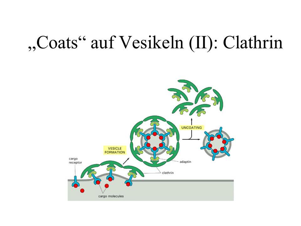 Coats auf Vesikeln (II): Clathrin