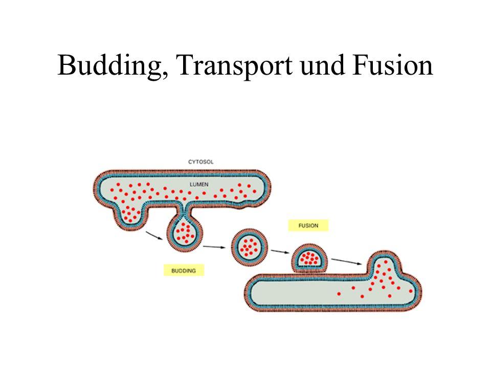 Polarisierte Epithelzellen besitzen zwei unterschiedliche Endozytose Kompartimente