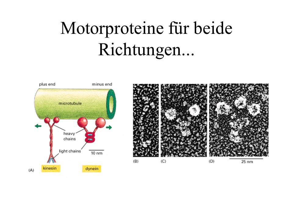 Motorproteine für beide Richtungen...