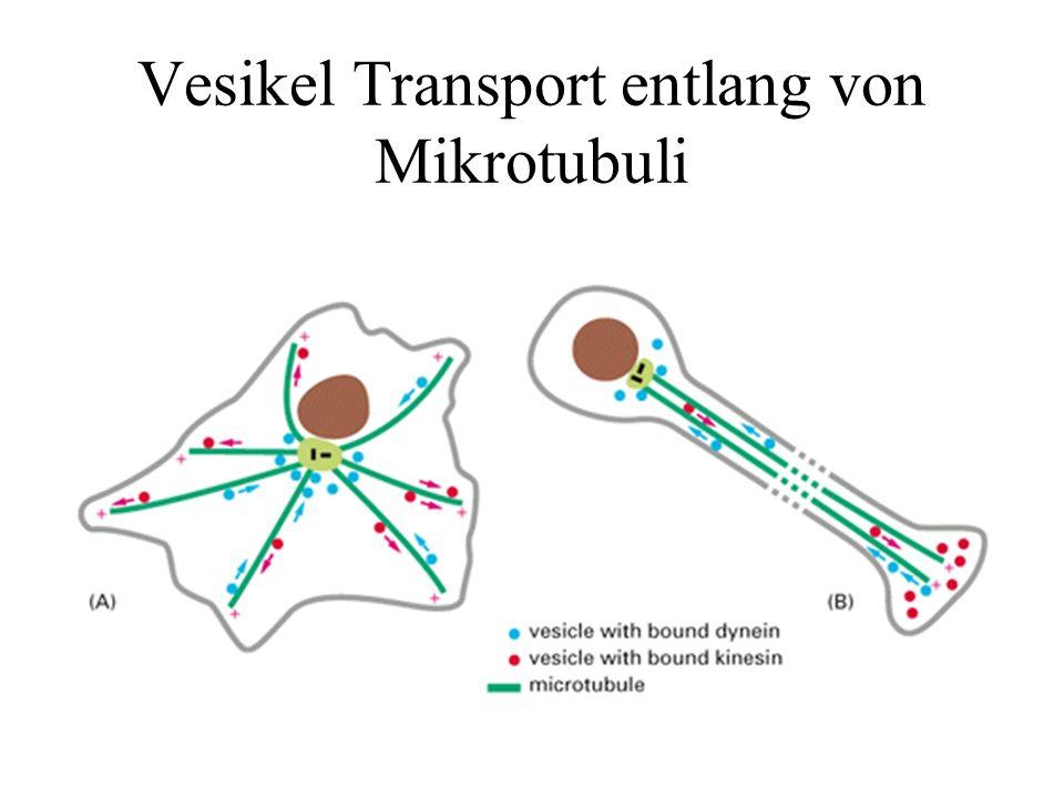 Vesikel Transport entlang von Mikrotubuli