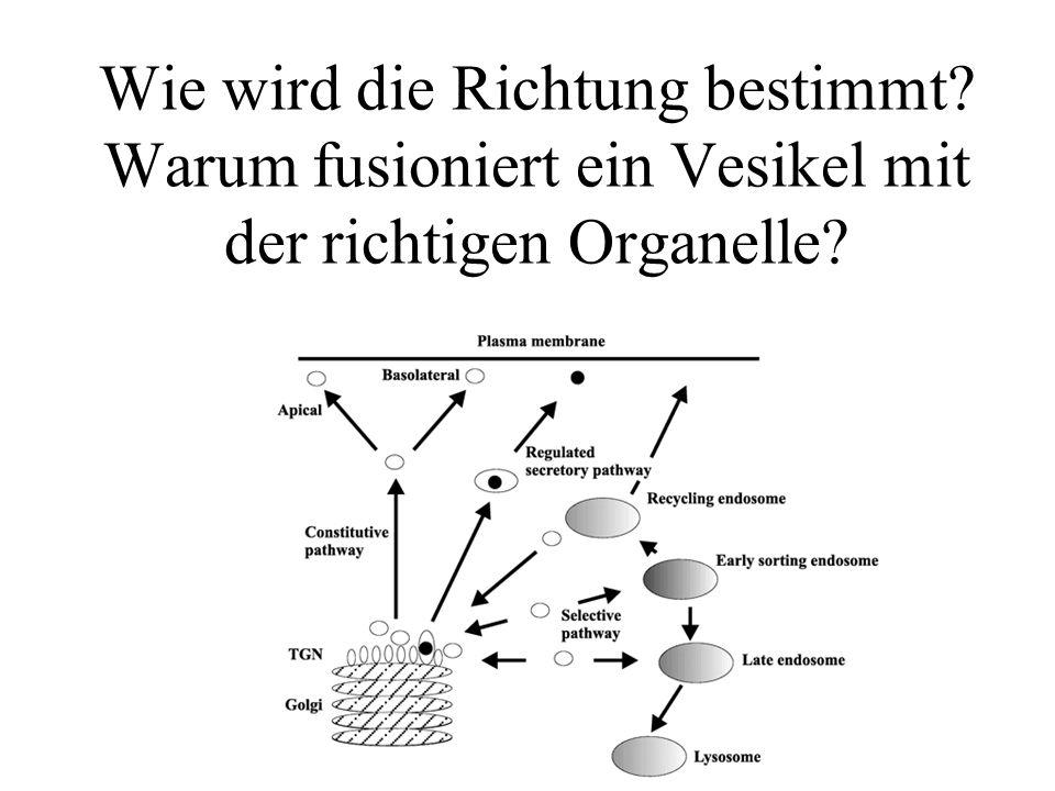 Wie wird die Richtung bestimmt? Warum fusioniert ein Vesikel mit der richtigen Organelle?