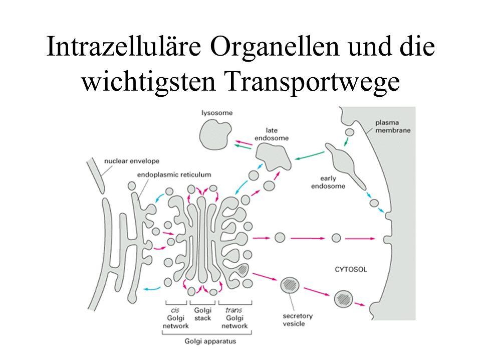 Transzytose Die möglichen Transportwege internalisierter Rezeptoren