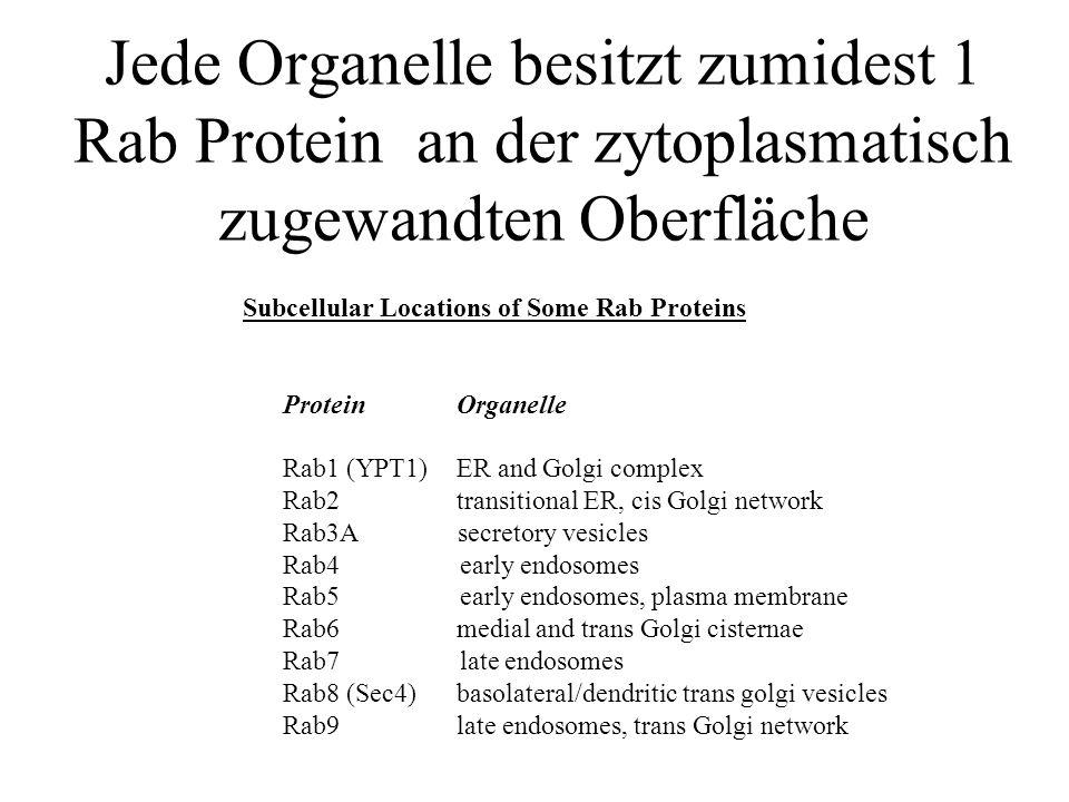 Jede Organelle besitzt zumidest 1 Rab Protein an der zytoplasmatisch zugewandten Oberfläche Subcellular Locations of Some Rab Proteins ProteinOrganell