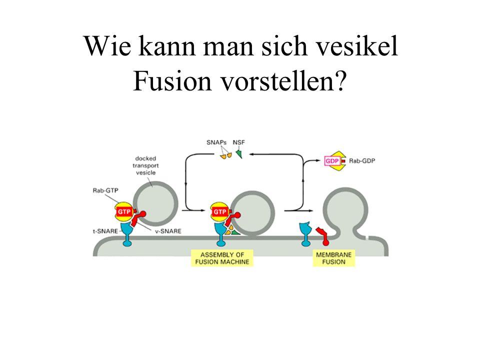Wie kann man sich vesikel Fusion vorstellen?