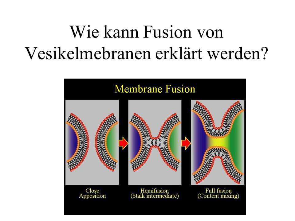 Wie kann Fusion von Vesikelmebranen erklärt werden?