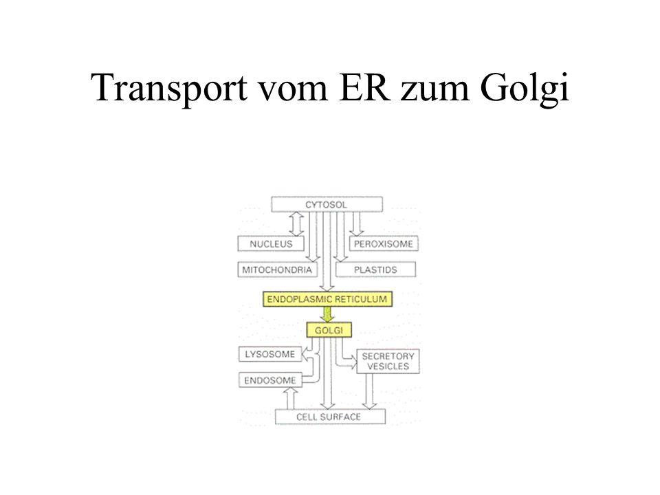 Das Endoplasmatische Retikulum (ER) Raues ER (mit Ribosomen) bildet orientierte Stacks oder abgeflachte Zisternen glattes ER ist mit diesen Zisternen verbunden und bildet ein Netzwerk von feinen tubulären Verbindungen