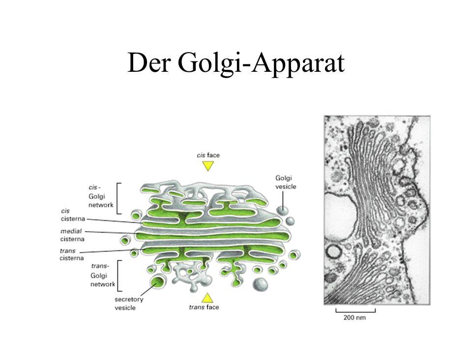 Polarisierter Golgi in einer Drüsenzelle der Magenschleimhaut