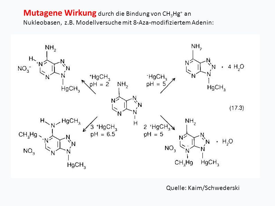 Mutagene Wirkung durch die Bindung von CH 3 Hg + an Nukleobasen, z.B.