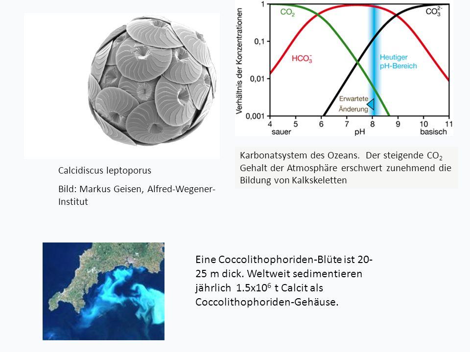 Calcidiscus leptoporus Bild: Markus Geisen, Alfred-Wegener- Institut Eine Coccolithophoriden-Blüte ist 20- 25 m dick.