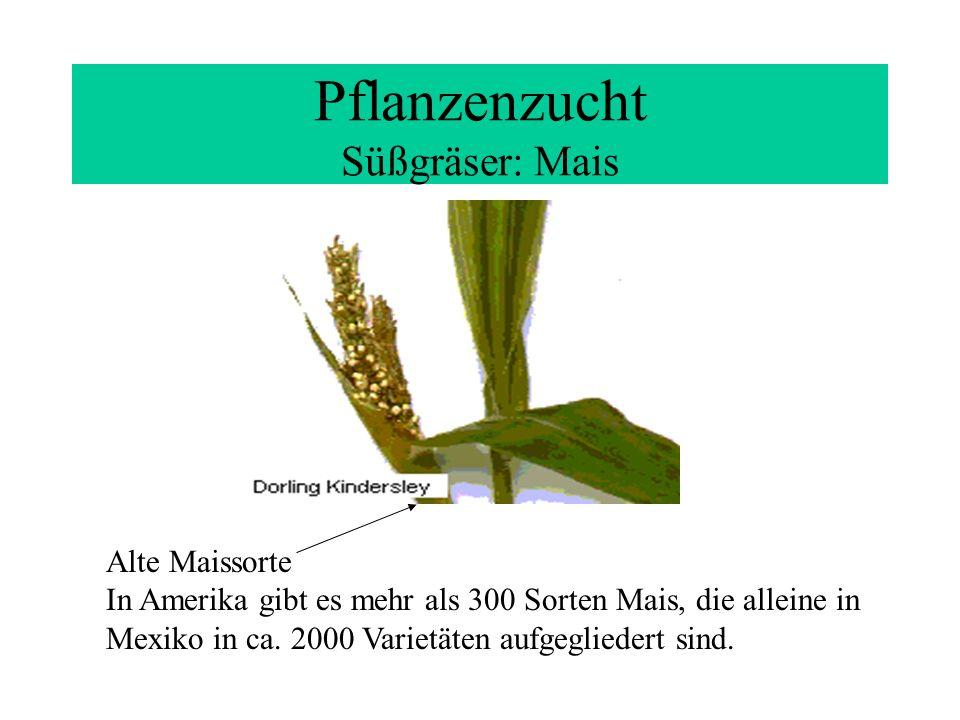 Pflanzenzucht Süßgräser: Mais Alte Maissorte In Amerika gibt es mehr als 300 Sorten Mais, die alleine in Mexiko in ca. 2000 Varietäten aufgegliedert s