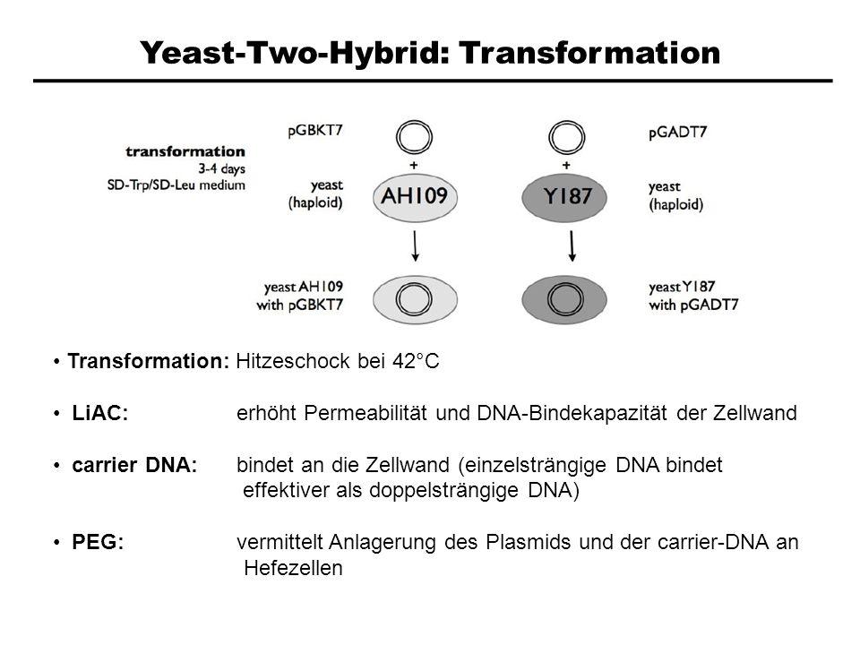 Yeast-Two-Hybrid: Transformation Transformation: Hitzeschock bei 42°C LiAC: erhöht Permeabilität und DNA-Bindekapazität der Zellwand carrier DNA: bind