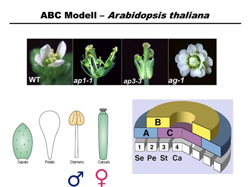 ABC Modell – Arabidopsis thaliana A