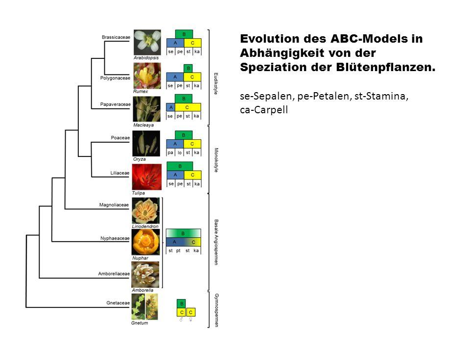 Evolution des ABC-Models in Abhängigkeit von der Speziation der Blütenpflanzen. se-Sepalen, pe-Petalen, st-Stamina, ca-Carpell