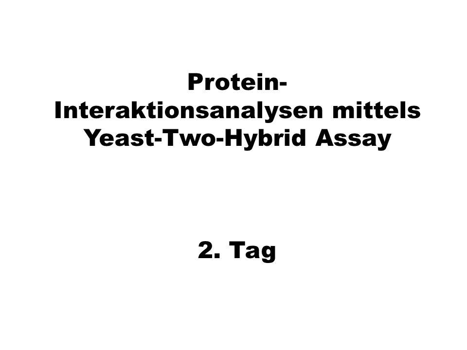 Protein- Interaktionsanalysen mittels Yeast-Two-Hybrid Assay 2. Tag