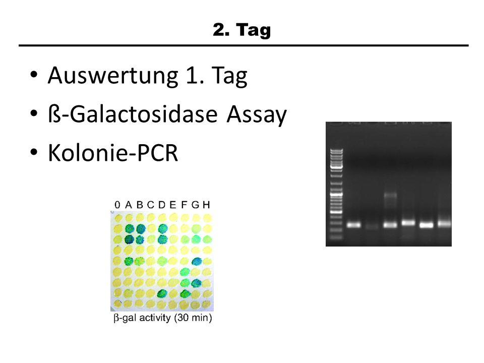 Auswertung 1. Tag ß-Galactosidase Assay Kolonie-PCR