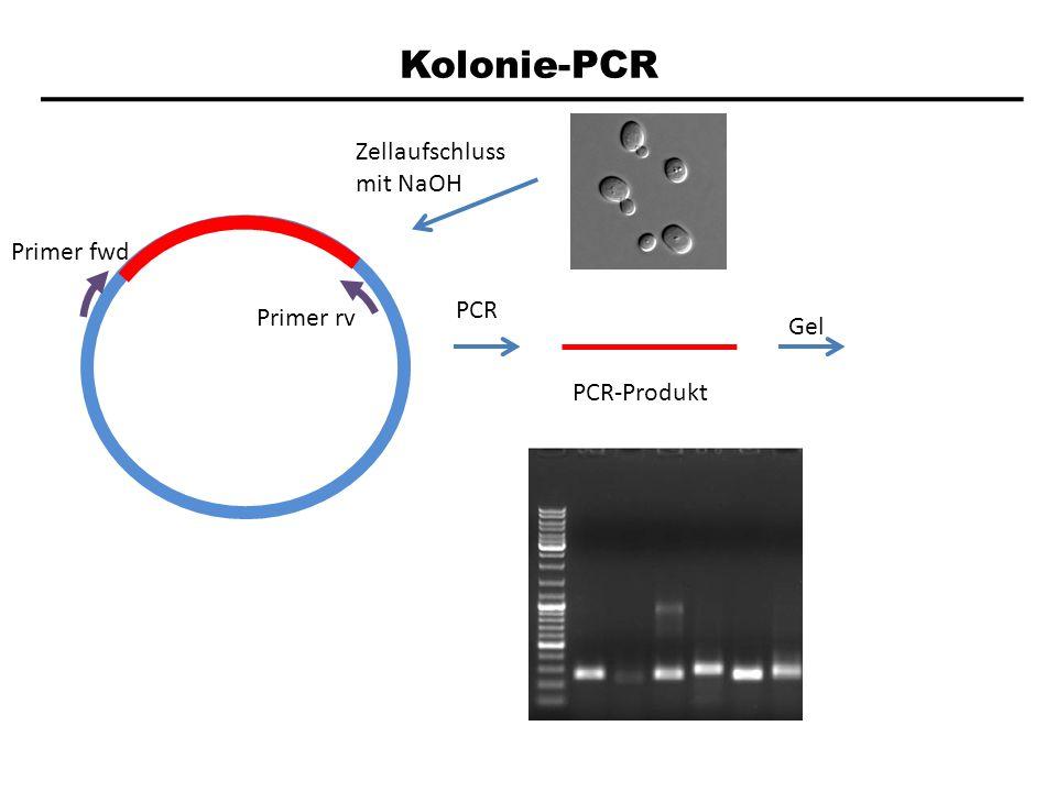 Kolonie-PCR Primer fwd Primer rv PCR PCR-Produkt Gel Zellaufschluss mit NaOH