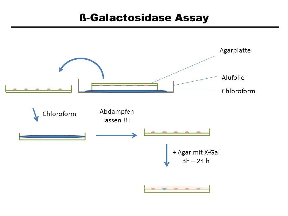 ß-Galactosidase Assay Agarplatte Alufolie Chloroform Abdampfen lassen !!! + Agar mit X-Gal 3h – 24 h