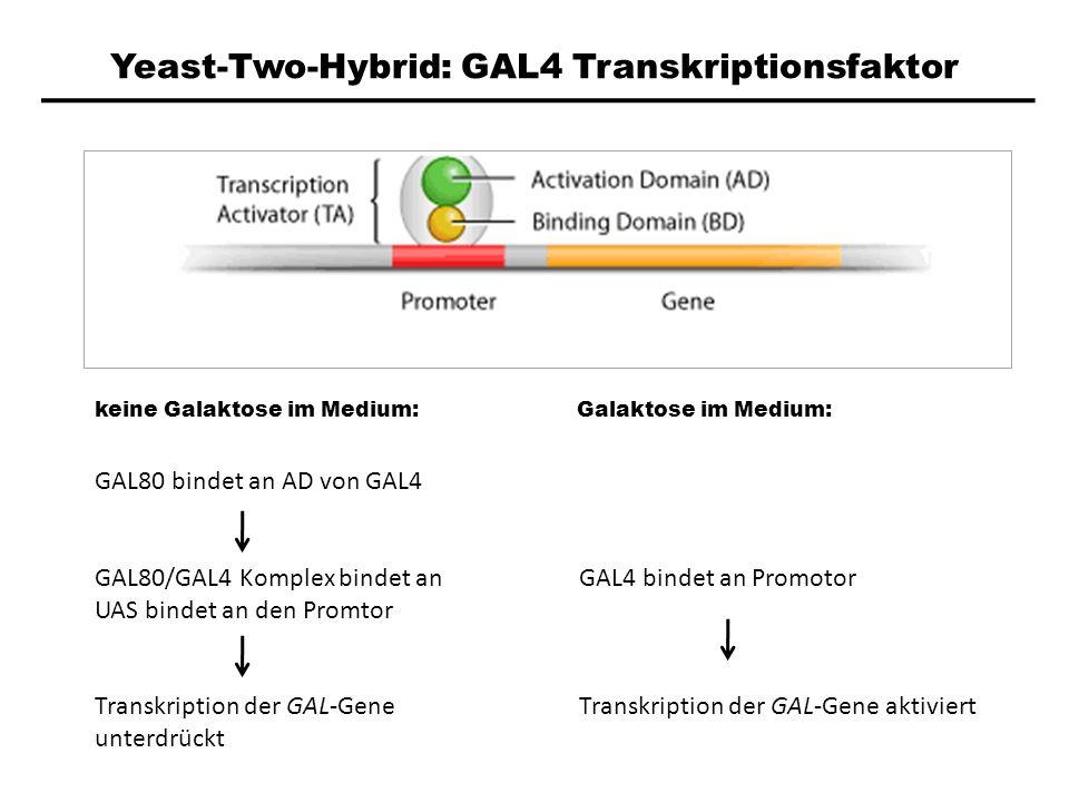 Yeast-Two-Hybrid: GAL4 Transkriptionsfaktor keine Galaktose im Medium: Galaktose im Medium: GAL80 bindet an AD von GAL4 GAL80/GAL4 Komplex bindet an U
