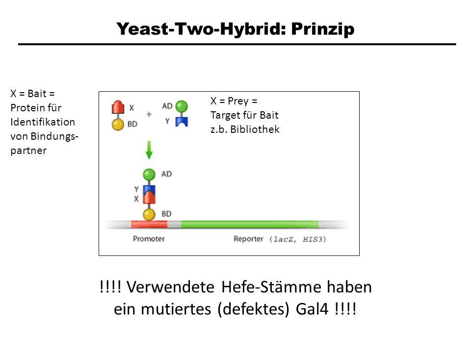 Yeast-Two-Hybrid: Prinzip X = Bait = Protein für Identifikation von Bindungs- partner X = Prey = Target für Bait z.b. Bibliothek !!!! Verwendete Hefe-