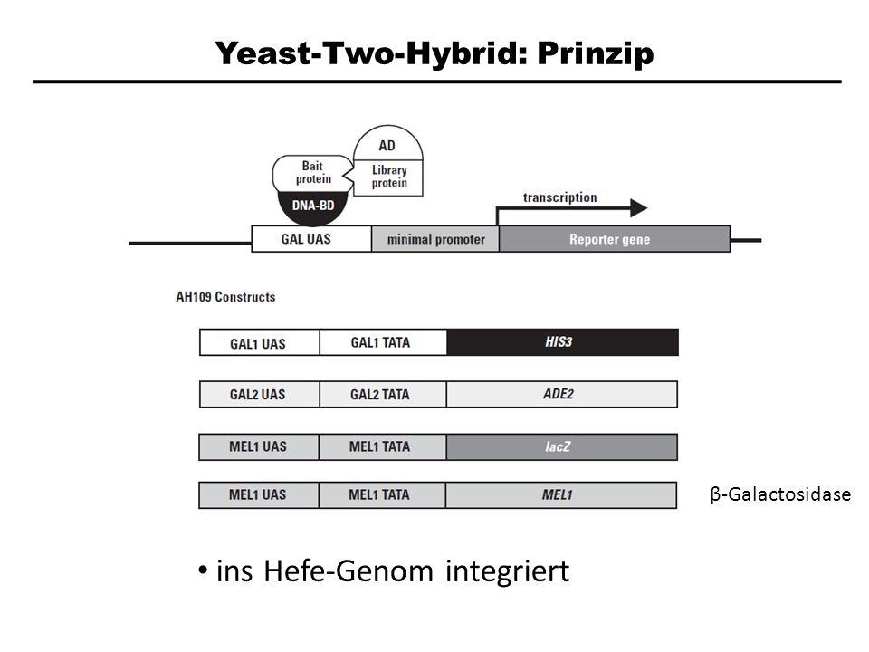 Yeast-Two-Hybrid: Prinzip β-Galactosidase ins Hefe-Genom integriert