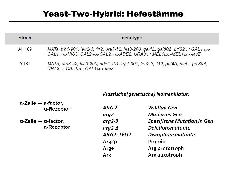 Yeast-Two-Hybrid: Hefestämme a-Zelle a-factor, α-Rezeptor α-Zelle α-factor, a-Rezeptor Klassische(genetische) Nomenklatur: ARG 2Wildtyp Gen arg2Mutier