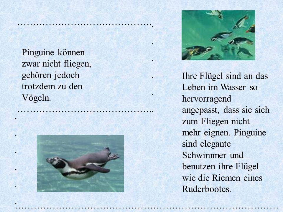 Pinguine können zwar nicht fliegen, gehören jedoch trotzdem zu den Vögeln. Ihre Flügel sind an das Leben im Wasser so hervorragend angepasst, dass sie