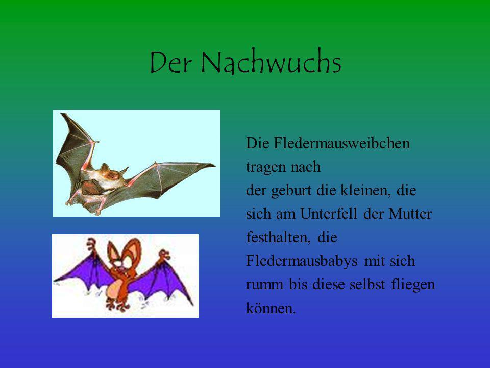 Der Nachwuchs Die Fledermausweibchen tragen nach der geburt die kleinen, die sich am Unterfell der Mutter festhalten, die Fledermausbabys mit sich rum