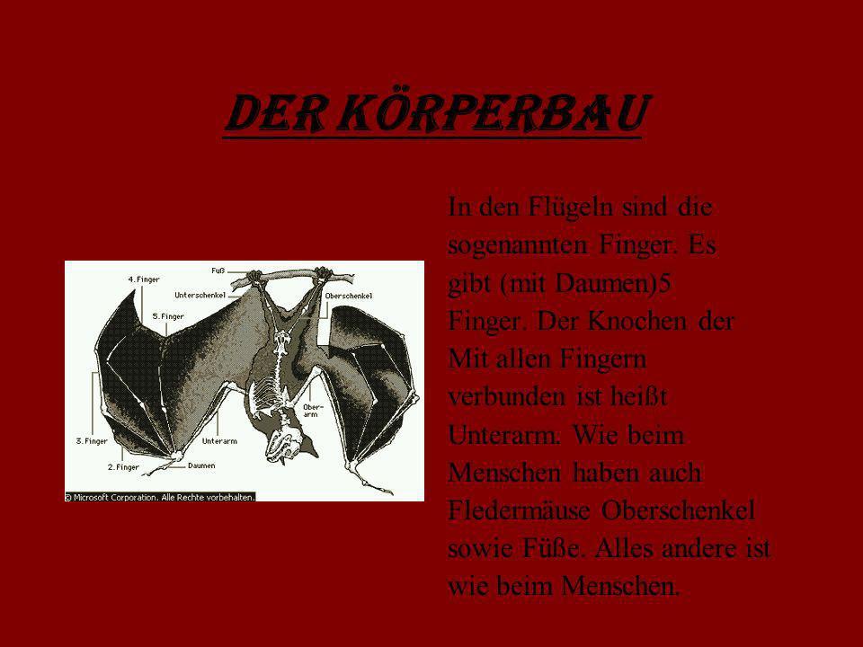 Der Körperbau In den Flügeln sind die sogenannten Finger. Es gibt (mit Daumen)5 Finger. Der Knochen der Mit allen Fingern verbunden ist heißt Unterarm