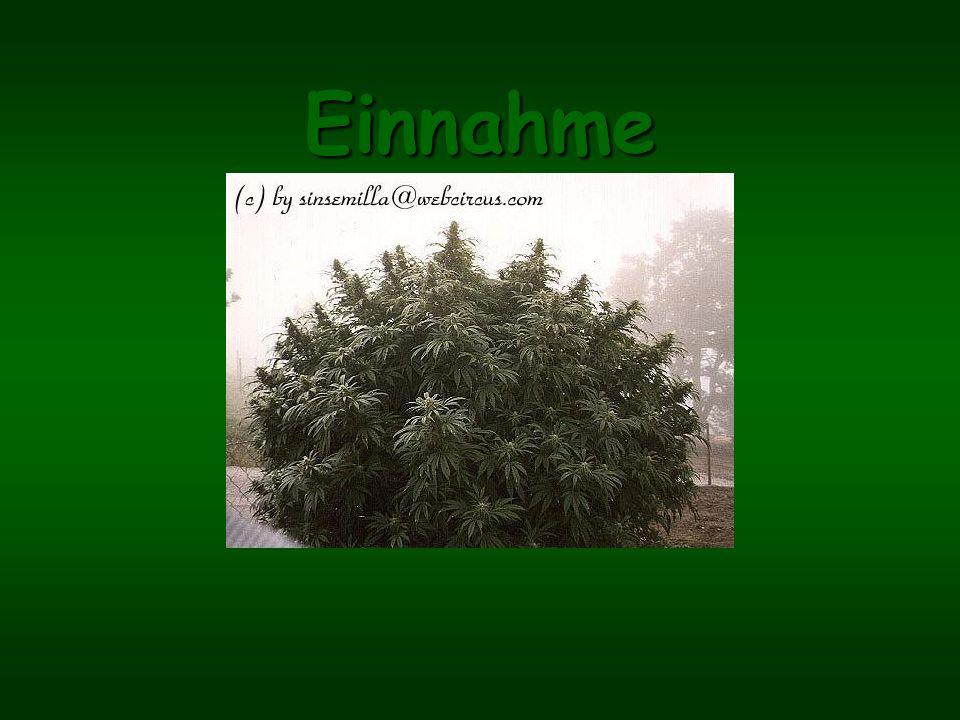 Cannabis Cannabis ist die botanische Bezeichnung der Hanfpflanze. Es gibt 3 Arten der Gattung Cannabis: Cannabis indica – Indischer Hanf: Wird über 1m