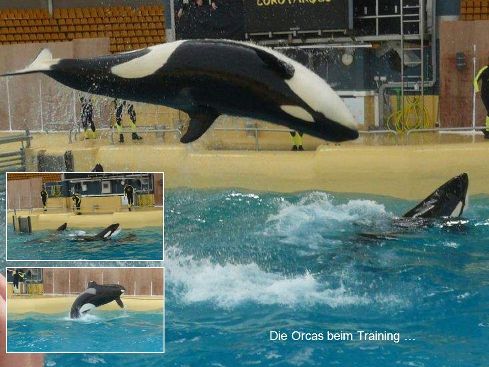 Die Orcas beim Training …