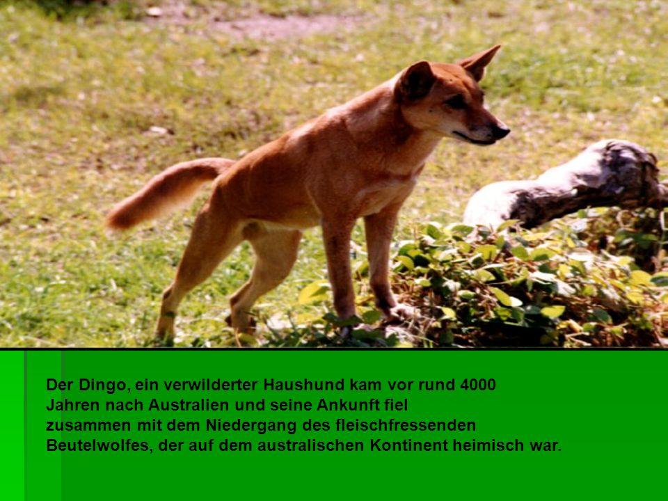 Der Dingo, ein verwilderter Haushund kam vor rund 4000 Jahren nach Australien und seine Ankunft fiel zusammen mit dem Niedergang des fleischfressenden