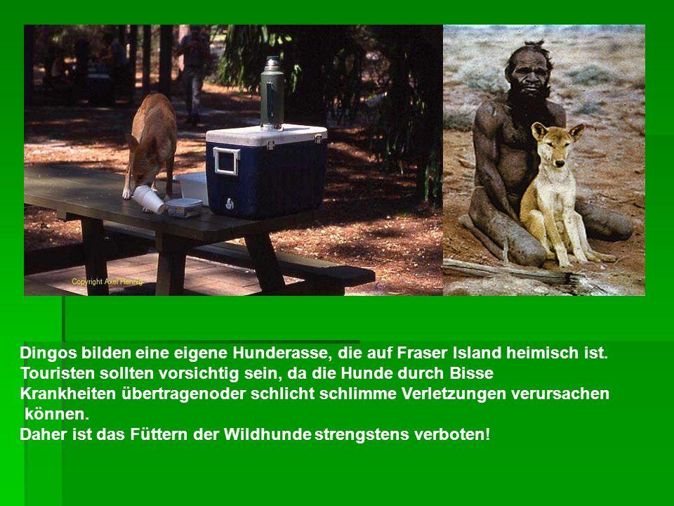 Dingos bilden eine eigene Hunderasse, die auf Fraser Island heimisch ist. Touristen sollten vorsichtig sein, da die Hunde durch Bisse Krankheiten über