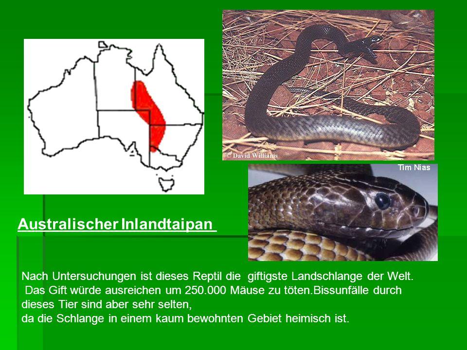 Nach Untersuchungen ist dieses Reptil die giftigste Landschlange der Welt. Das Gift würde ausreichen um 250.000 Mäuse zu töten.Bissunfälle durch diese