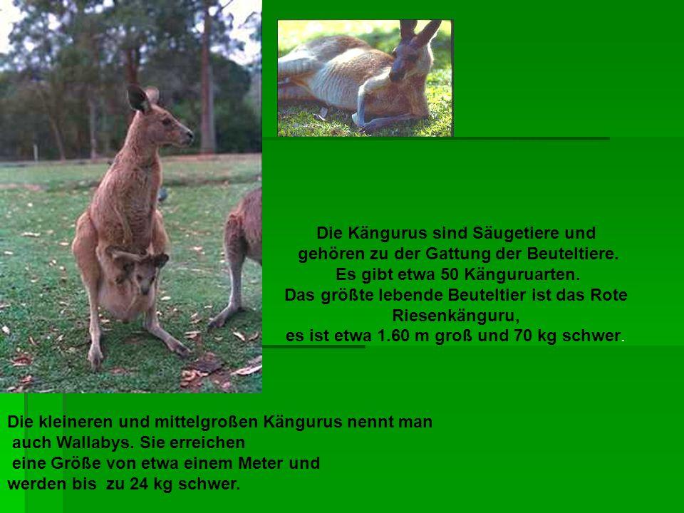 Die Kängurus sind Säugetiere und gehören zu der Gattung der Beuteltiere. Es gibt etwa 50 Känguruarten. Das größte lebende Beuteltier ist das Rote Ries
