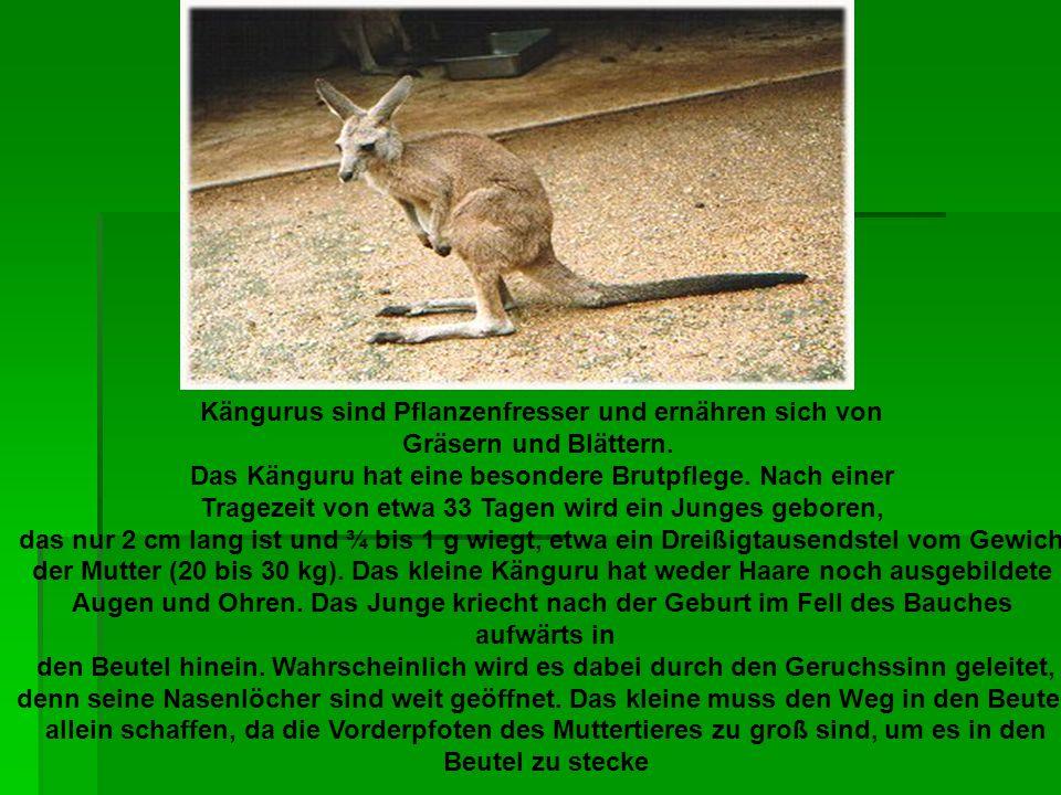 Kängurus sind Pflanzenfresser und ernähren sich von Gräsern und Blättern. Das Känguru hat eine besondere Brutpflege. Nach einer Tragezeit von etwa 33