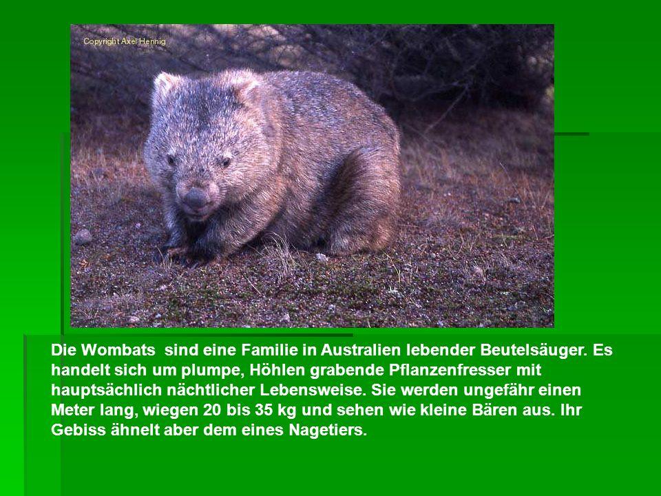 Die Wombats sind eine Familie in Australien lebender Beutelsäuger. Es handelt sich um plumpe, Höhlen grabende Pflanzenfresser mit hauptsächlich nächtl