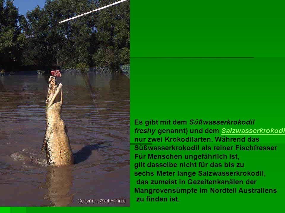 Es gibt mit dem Süßwasserkrokodil freshy genannt) und dem SalzwasserkrokodilSalzwasserkrokodil nur zwei Krokodilarten. Während das Süßwasserkrokodil a