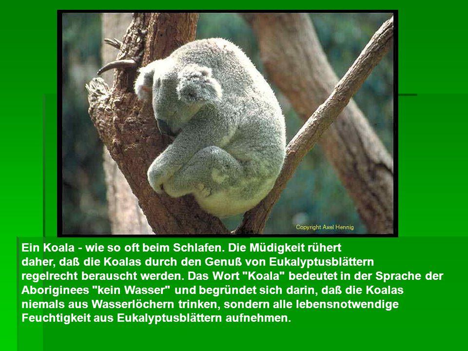Ein Koala - wie so oft beim Schlafen. Die Müdigkeit rühert daher, daß die Koalas durch den Genuß von Eukalyptusblättern regelrecht berauscht werden. D