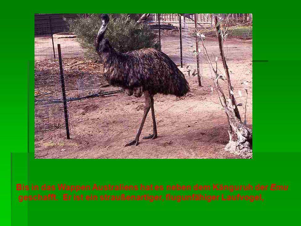 Bis in das Wappen Australiens hat es neben dem Känguruh der Emu geschafft. Er ist ein straußenartiger, flugunfähiger Laufvogel,